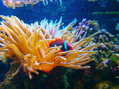 Clown fish and sea anemones — Stock Photo