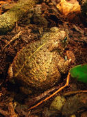 Goliath frog — Stock Photo
