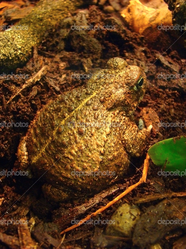 Goliath frog. Adult ekzemplyar largest frog in the world        — Stock Photo #2633800