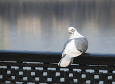 White-grey pigeon — Stock Photo