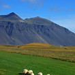 Icelandic sheeps — Stock Photo #2050565