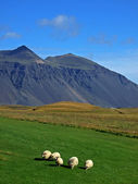 Icelandic sheeps — Stock Photo