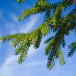 Fur-tree branch against the blue sky — Stock Photo
