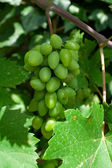 Cluster of green grapes — Stock Photo
