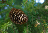 Fir cone. — Stock Photo