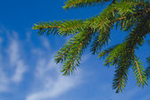 Fur-tree branch against the sky — Stock Photo