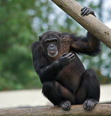 Chimpanzee (Pan troglodytes) — Stock Photo