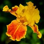 Yellow and orange Bearded Iris. — Stock Photo #2059527