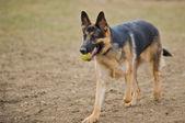 German Shepherd dog playing catch. — Stock Photo
