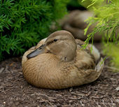 Female Duck (Gadwall Anas strepera) — Stock Photo