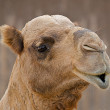 Close up face of a camel. — Stock Photo #2089234