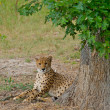 Royalty-Free Stock Photo: Cheetah laying in the shade of a tree.