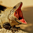 Open mouthed iguana. - Stock Photo