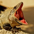 Stock Photo: Open mouthed iguana.