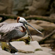 Pelican with beak wide open. — Stock Photo