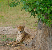 Cheetah laying in the shade of a tree. — Stock Photo