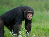 Adult Chimpanzee - (Pan troglodytes) — Stock Photo
