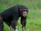 Adult Chimpanzee - (Pan troglodytes) — Stock Photo