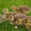 Hungry Baby Geese - Stock Photo