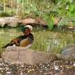 Male Wood Duck (Aix sponsa) — Stock Photo