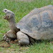 Giant Galapagos Turtle - Stock Photo