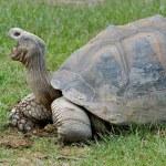 Giant Galapagos Turtle — Stock Photo #2375813