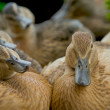 Stock Photo: Wild Ducks with curious expressions.