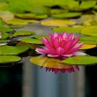 Pink flowers on a lilly pad — Stock Photo #2375986