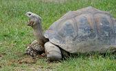 Giant Galapagos Turtle — Stock Photo