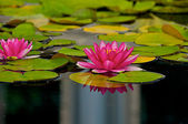 Pink flowers on a lilly pad — Stock Photo