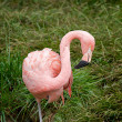 Stock Photo: Pink flamingo (Phoenicopterus chilensis).