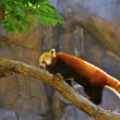 Red Panda (Allurus fulgens) — Stock Photo
