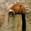 Red Ruffed Lemur. — Stock Photo