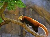 Red Panda (Allurus fulgens) — Stock Photo