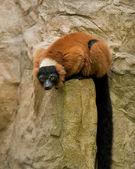 Red Ruffed Lemur. — Stock Photo