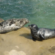 Two harbor seals resting on the rock - Stock Photo