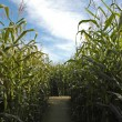 Pathway through the corn maze — Stok fotoğraf