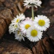 Daisies on a stump — Stock Photo