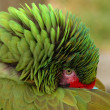 Great Green Macaw hiding his beak - Photo