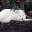 Arctic fox — Foto de stock #2064444