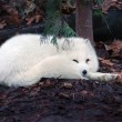 Stock Photo: Arctic fox