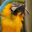 Blue-and-gold macaw head and upper body — Stock Photo