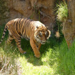 Sumatran tiger — Stock Photo #2064570