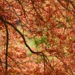Japanese maple at fall — Stock Photo
