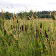 Cattails and reed canary grass — Stock Photo