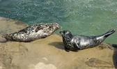 Zwei harbor seals ruht auf dem felsen — Stockfoto