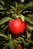 Red gala apple on a tree — Stock Photo