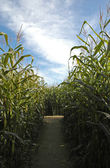 Pathway through the corn maze — Stock Photo
