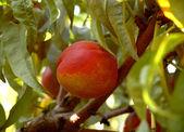 Ripe nectarine on a tree — Stock Photo