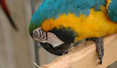 Blue-and-gold macaw pecking wooden plank — Stock Photo